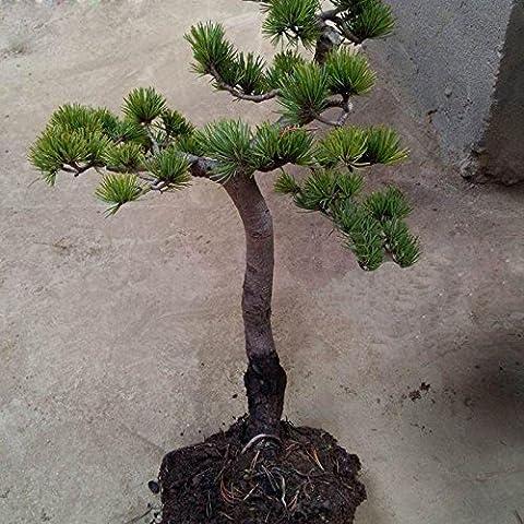 Evergreen Arbor Albero giapponese Pino Semi Cortile e giardino in vaso ornamentale pinoli 100 PCS / Bag