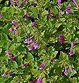 Bergminze Steinquendel - Calamintha grandiflora von Baumschulen bei Du und dein Garten