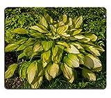luxlady Naturkautschuk Mousepads Bild-ID 31334022Funkien mit Yellow Leaves im Garten