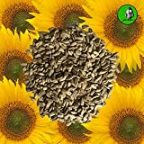 Vogelfood 25 KG Sonnenblumenkerne geschält Marke Vogelfutter