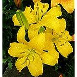 Lilium Yellow - Lily Yellow - 1 bulbo