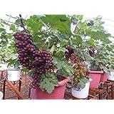 "Rare Exotic Tropical Fruit Grape Vitis Vinifera "" Dwarf Grape ""Plant ( 1 Healthy Live Plant )"