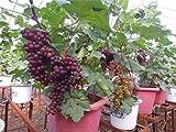#6: Azalea Gardens Rare Exotic Tropical Fruit Grape Vitis Vinifera