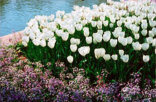 Toutes sortes de bulbes de tulipes belles fleurs de jardin sont appropriés pour les plantes en pot (il n'est pas une graine de tulipe) bulbes 2PC 16