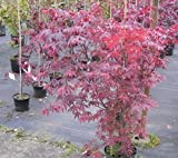 Acer palmatum Atropurpureum - Roter Fächerahorn Atropurpureum Preis nach Größe 80-100 cm