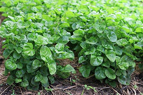 Brunnenkresse 1000 Samen Wasserkresse, Nasturtium officinale (Watercress)