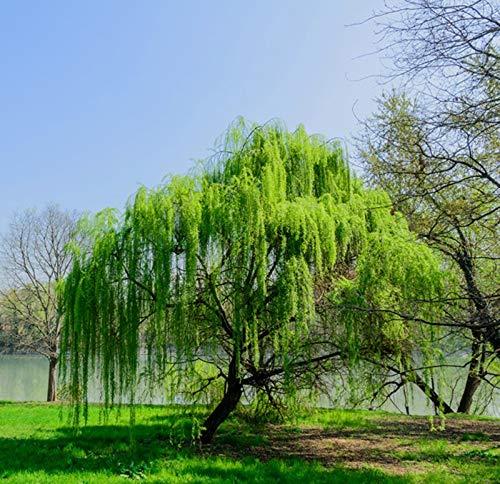 Trauerweide 2 Töpfe (Salix babylonica) Hängeweide