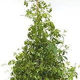 Gynostemma pentaphyllum - Herbe de l'immortalité - Jiaogulan