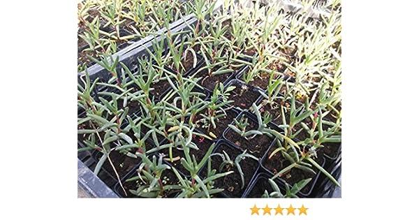 Mesembriantemo Mesembryanthemum Piantine di Mesembriantemo in Vaso 7x7 cm 5 Piantine