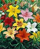 Dominik Blumen und Pflanzen, 786231 Orientalische Lilien Sortiment, 4 Sorten je 3 Zwiebel, bestehend aus 3x rot / gelb / weiß / zweifarbig