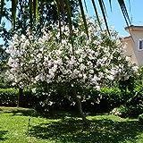 Nerium oleander (Oleandro Bianco) [Vaso Ø24cm]