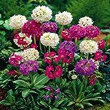 Kugelprimel Primula denticulata - 3 pflanzen