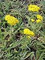 Kräuter - Pflanzenpaket Niedrige Blütenstauden für 2 m² Dachbegrünung, Steingarten, etc. von Dachstauden - Du und dein Garten