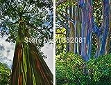 Shopmeeko 200 Regenbogen-Eukalyptusbaum pflanzt Pflanzenrindenfarbe ist wie ein Anstrich senior Patiobetrieb kostenloser Versand