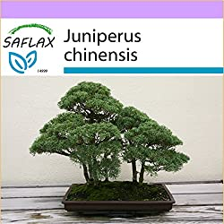 SAFLAX - Bonsai - Chinesischer Wacholder - 30 Samen - Juniperus chinensis