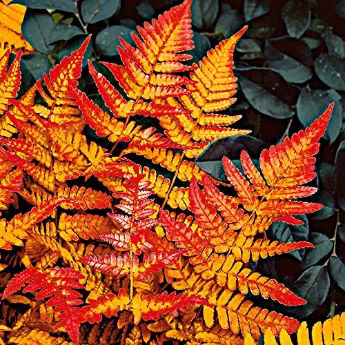 Qulista Samenhaus - 100pcs Japanische Schmuck-Farn-Kollektion Mischun Blumensamen winterhart mehrjährig ideal für Kübelpflanzung -