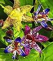 Exotische Tiger-Lilien Krötenlilien, 3 Knollen Tricyrtis von BULBPLANT auf Du und dein Garten