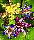 Exotische Tiger-Lilien Krötenlilien, 3 Knollen Tricyrtis