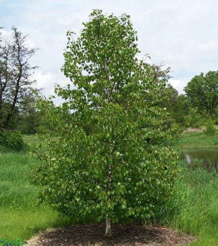 Japanische weiße Birke, Betula Platyphylla Japonica Whitespire, Baum 50 Samen