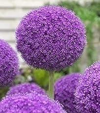 Allium giganteum - Zwiebel Riesen Zierlauch - Blumenzwiebel