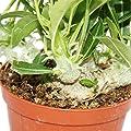 Pachypodium saundersii - Knollen-Madagaskar-Palme - 10,5cm Topf von exotenherz - Du und dein Garten