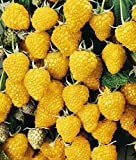 Gelbe Himbeere 'Golden Queen' 1l
