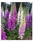 Shop Meeko Perenne fiore Digitalis purpurea Foxglove COLORI MISTI 13.000 SEMI