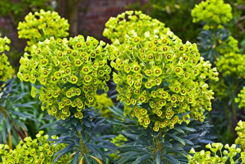 Steife Wolfsmilch 15 Samen (Euphorbia Stricta Golden Foam) (Samen Wolfsmilch)