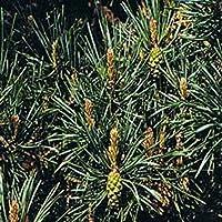 Dr Bach Pine Bach Flower Remedy 10ml preisvergleich bei billige-tabletten.eu