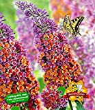 BALDUR-Garten Buddleia 'Flower Power';1 Pflanze