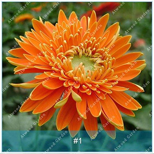 Galleria fotografica ZLKING 100 pc / pacchetto semi variopinti Gerbera Alto fiore di germinazione dei semi rapido tasso di crescita del crisantemo Per la casa Giardino Bonsai 1