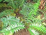 3x Sichelfarn, Cyrtomium falcatum im 9 cm Topf als Sparpaket