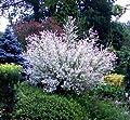 Japanische Harlekinweide Hakuro Nishiki® als Stämmchen. 1 Pflanze von Dominik Gartenparadies auf Du und dein Garten