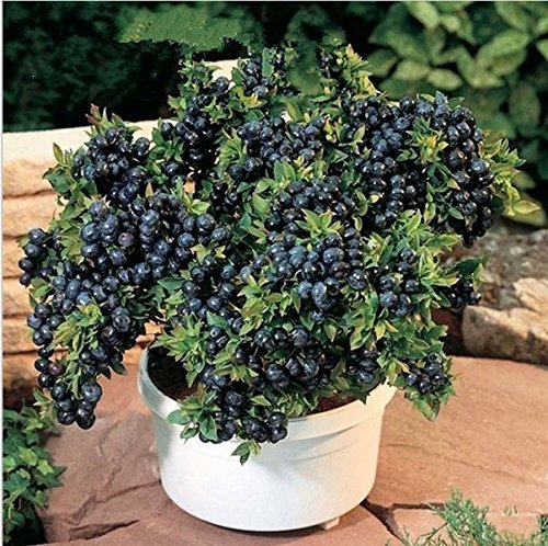 100pcs fruits graines graines de BlueBerry perle noire Blueberries DIY countyard Bonsai plantes Semences pour la maison et le jardin 100 graines 49%