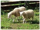 Vom Schaf zur Wolle (Oma Oma Oma diy 1)