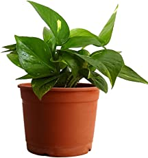Rolling Nature Money Plant Hybrid Indoor Plant