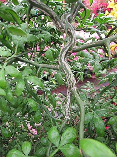Poncirus trifoliata - Bitterorange, Dreiblättrige Orange