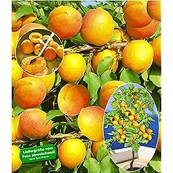 BALDUR-Garten Aprikosen 'Compacta Super Compact®', Aprikosenbaum 1 Pflanze, Prunus armeniaca