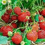 Premier Seeds Direct FO-ZJS2-3XAA - Semillas (fresa)