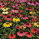 Echinacea Cheyenne Spirit 12 Jumbo Round Plants - Mixed Colours (12-)