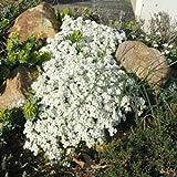 Blumensamen Creeping Thyme Samen oder Blau ROCK Kressesamen - Perennial Bodendecker Gartendekoration Blume 40pcs AA Weiß Thymian