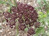 Plant World Seeds - Daucus Carota 'Burgundy Top' Seeds