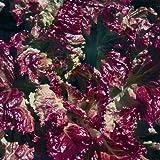 Pflück-Salat - Flame (100 Samen)