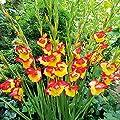 Gärtner Pötschke Winterharte Zwerg-Gladiole Las Vegas von Gärtner Pötschke - Du und dein Garten