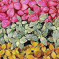 Set mit 3 verschiedenfarbige Fittonia -Pflanze, Silbernetzblatt, Mosaikpflanze, 9cm Topf von exotenherz bei Du und dein Garten