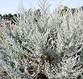 Wermut - Artemisia absinthium von Baumschule - Du und dein Garten