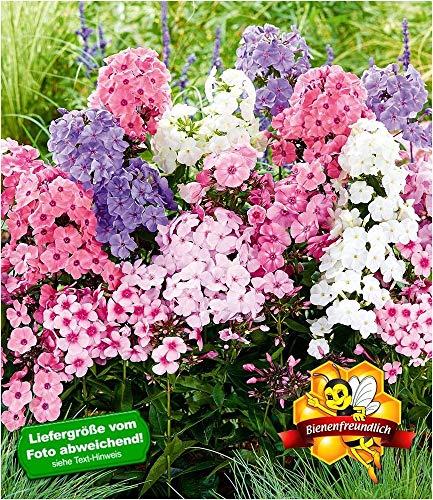 BALDUR-Garten Winterhart Phlox-Mix