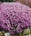 BALDUR-Garten Winterharter Bodendecker Langhaariger Gebirgs-Thymian, 3 Pflanzen Thymus praecox von Baldur-Garten - Du und dein Garten