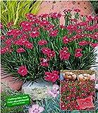 """BALDUR-GartenBodendecker-Nelke""""Red Pillow"""" 3 Pflanzen Dianthus winterhart"""