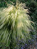 Semi di Pony Tails messicani a foglia di piuma - Stipa tenuissima - 200 semi - 200 semi